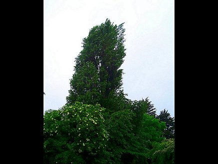 Poplar Tree Reduction. Click picture to view bigger